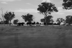 Dark-Cows-on-the-Move